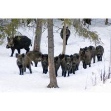 Два кабана обошлись браконьерам в четыре ружья, два снегохода и два автомобиля